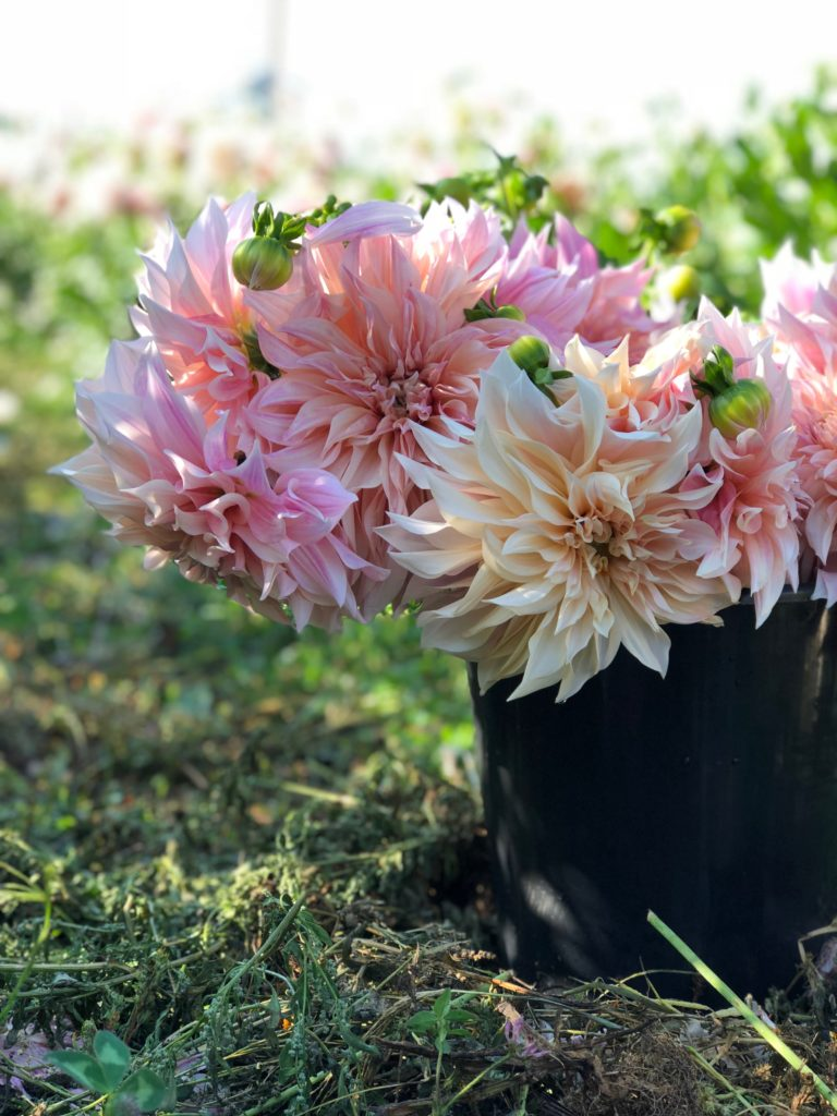 Dahlia Tubers From Triple Wren Farms Triple Wren Farms